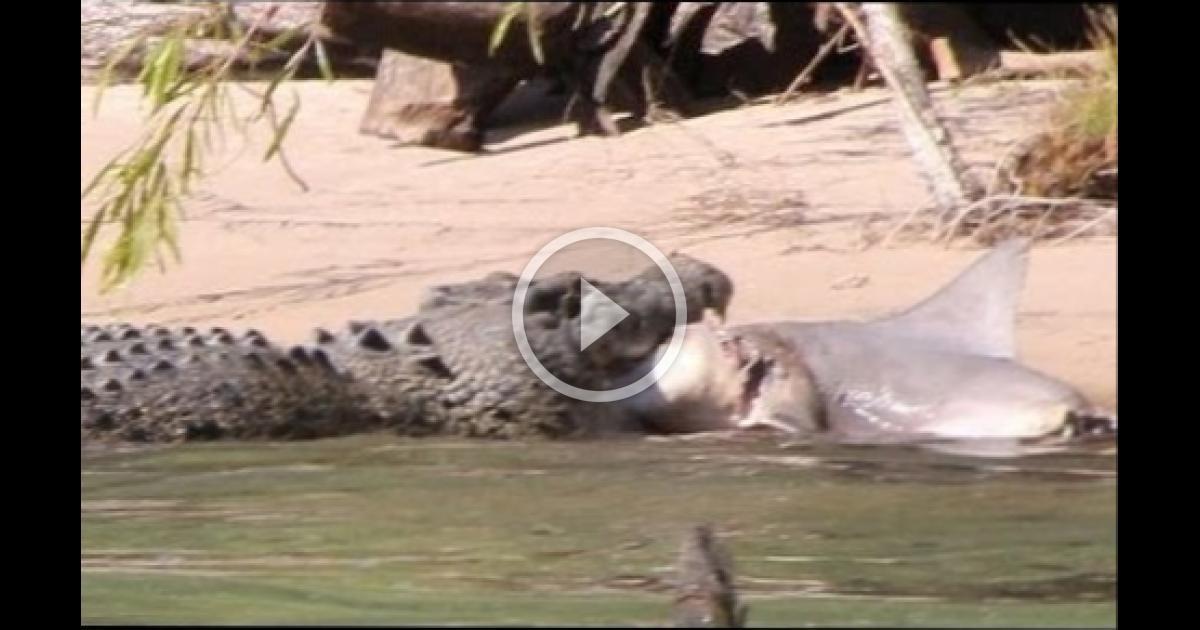 Alligator vs shark attacks - photo#33